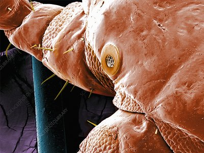 Head louse spiracle, SEM