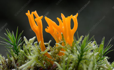 Yellow stagshorn fungus