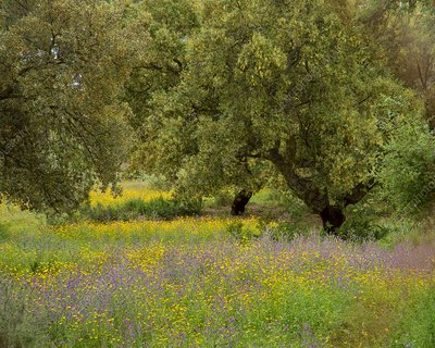 Oak trees and wildflower meadow
