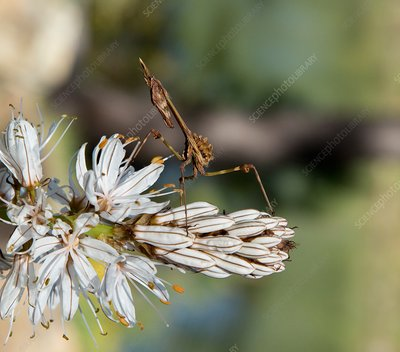 Mantis nymph on asphodel flower