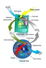 Cellular respiration, plants and animals