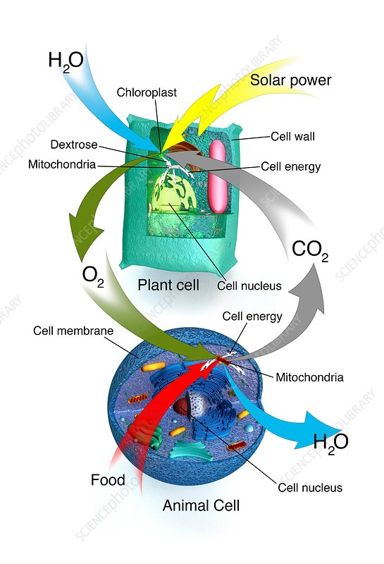 Cellular Respiration  Plants And Animals - Stock Image C030  2500