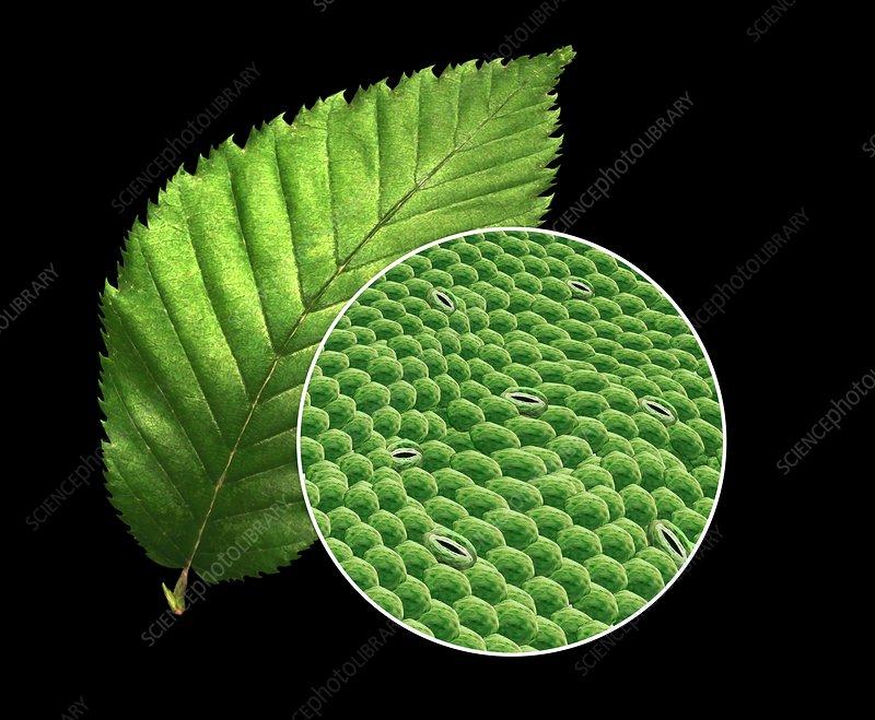 Plant leaf and stomata  illustration  Stock Image  C030