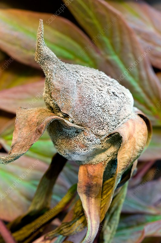 Peony flower bud with grey mould