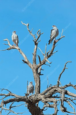 Family of Pale Chanted Goshawks perched