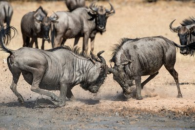 Blue wildebeest males fighting