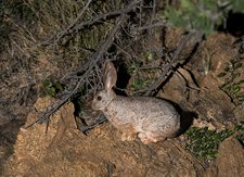 Smith's red rock hare