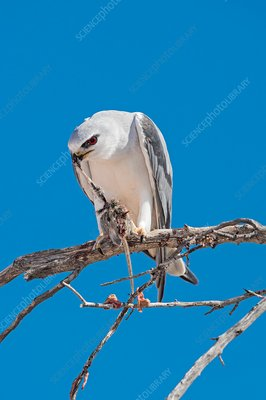 Black-shouldered Kite eating field mouse
