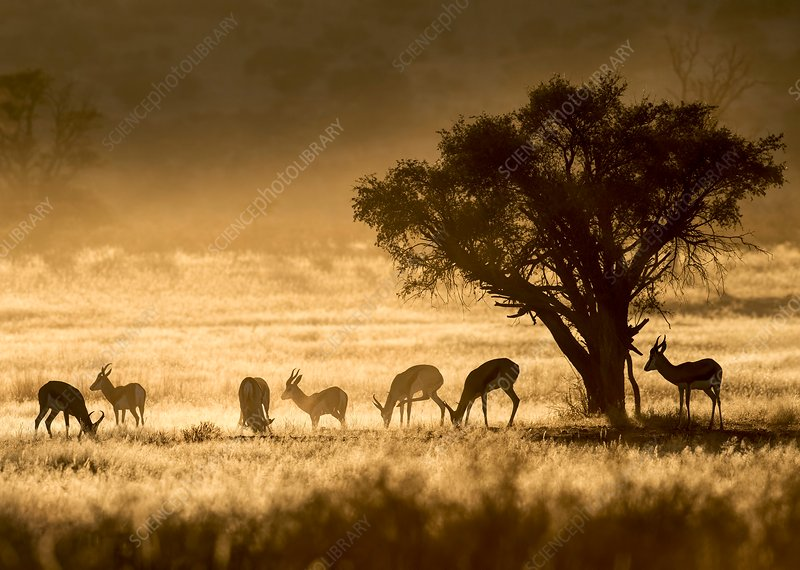 Springbok herd in the Kalahari at dawn