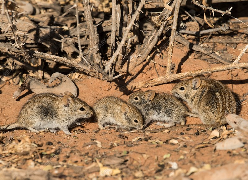 Four-striped grass mice foraging