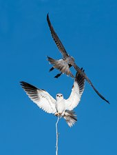 Black shouldered kite and Lanner Falcon