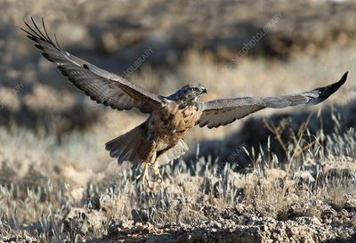 Immature Jackal Buzzard taking off