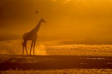 Giraffe at dusk in the Auob riverbed