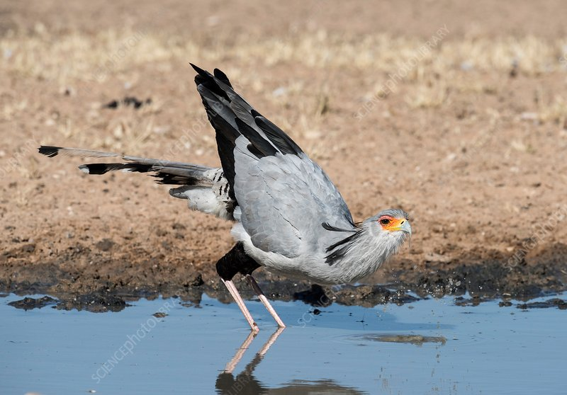 Secretary bird drinking