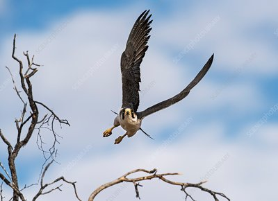 Lanner falcon taking off