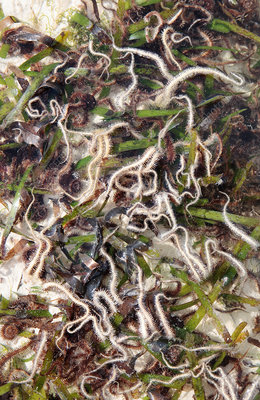 Brittle stars in a tidal pool