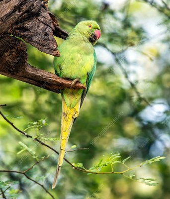 Ring-necked parakeet in a tree