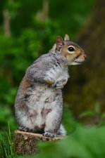 Grey squirrel, lactating female