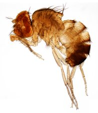 Mutant fruit fly, LM