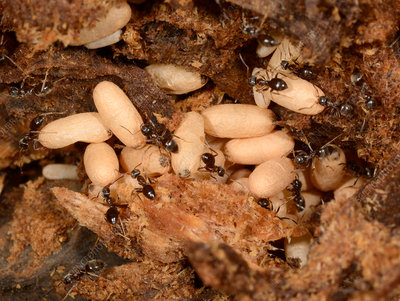 Ants nest and eggs