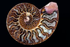 Ammonite cross section