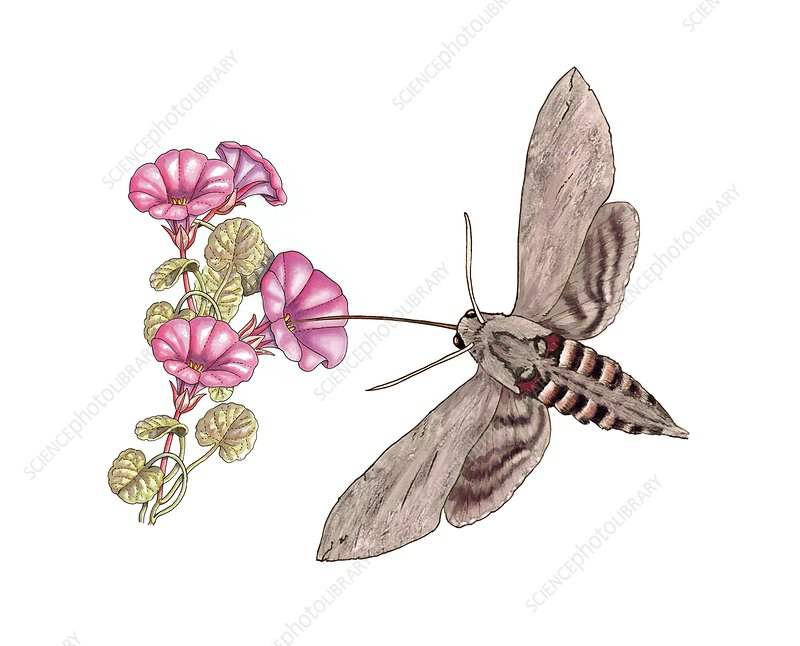 Convolvulus hawk-moth, illustration