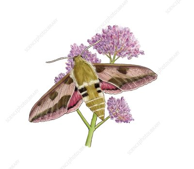 Leafy spurge hawk-moth, illustration