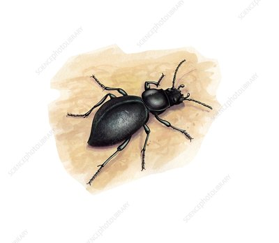Darkling beetle, illustration