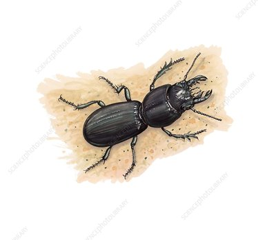 Ground beetle, illustration