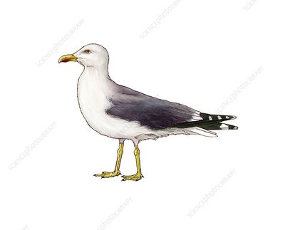 Yellow-legged gull, illustration