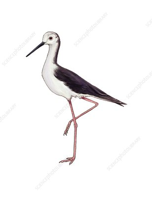 Black-winged stilt, illustration