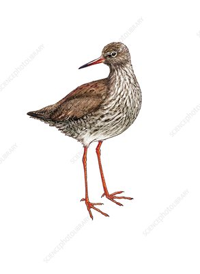 Common redshank, illustration
