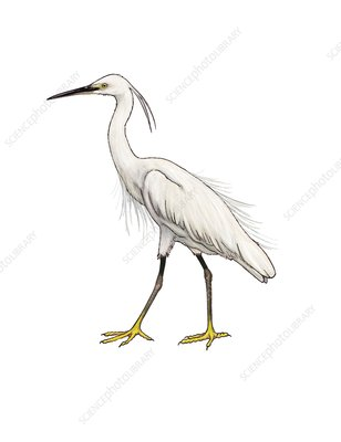 Little egret, illustration