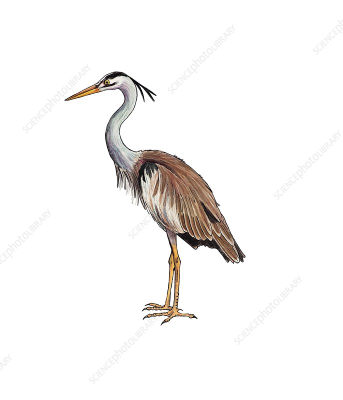 Grey heron, illustration