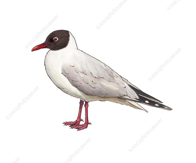 Black-headed gull, illustration