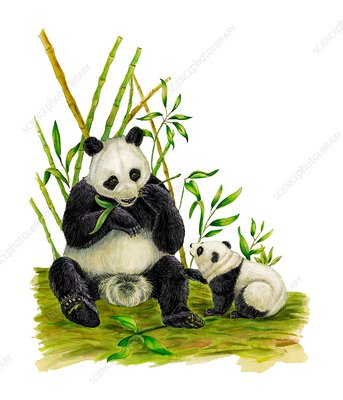 Giant pandas, illustration