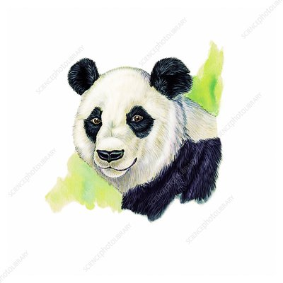 Giant panda, illustration