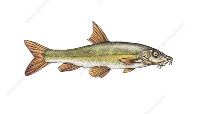 Ebro barbel, illustration