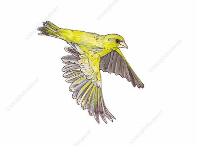 Greenfinch in flight, illustration