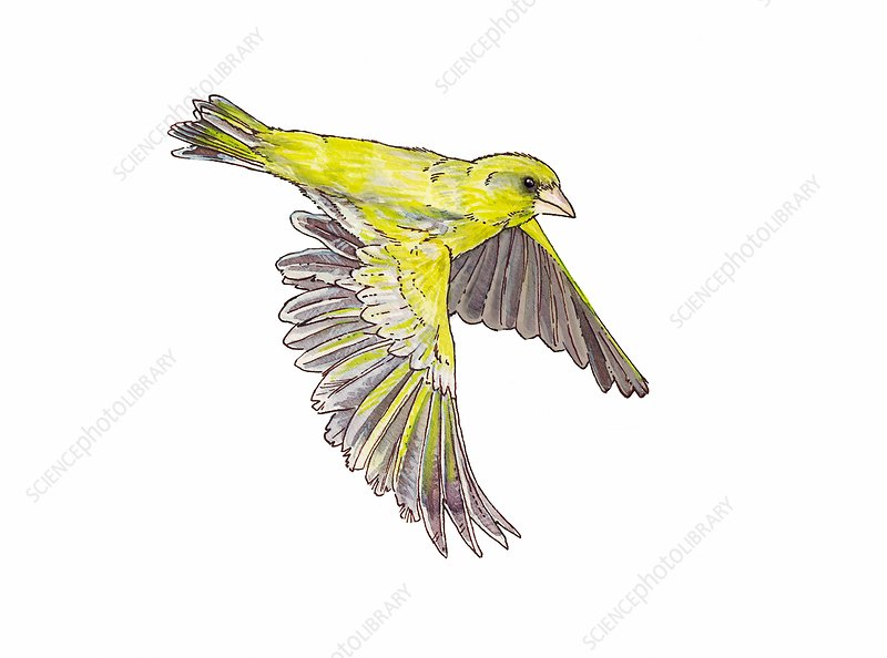 Greenfinch in flight, illustration