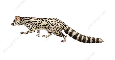 Common genet, illustration