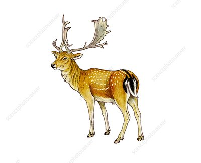 Fallow deer, illustration