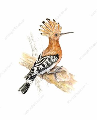 Hoopoe, illustration