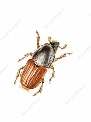 Elm bark beetle, illustration