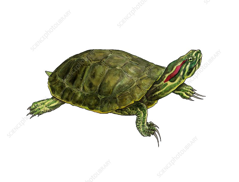 Pond slider, illustration