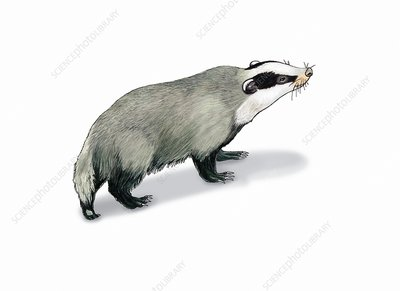 European badger, illustration