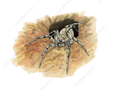 Tarantula wolf spider, illustration