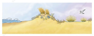 Mediterranean sand dune, illustration