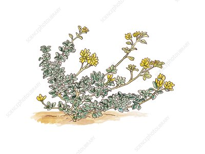 Medicago maritima in flower, illustration
