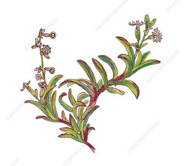 Campion Silene niceensis, illustration